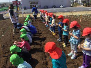 ジャガイモ苗植え